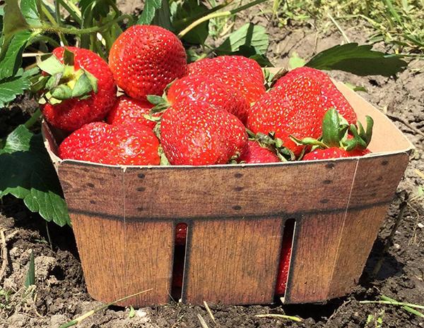 berrybasket